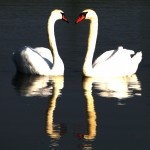 Romania Photo Blog Heart Swan